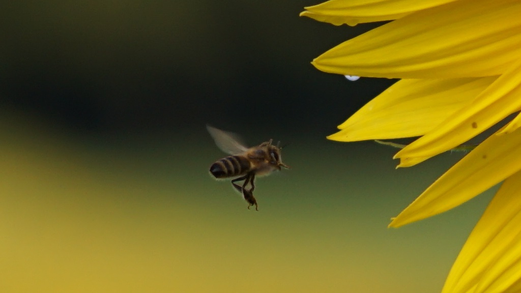 Click on the cropped photograph to view the bee in 1024 pixel resolution